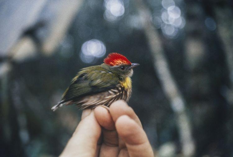 Perú: descubren nueva especie de ave gracias a su canto