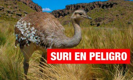 El suri en peligro de desaparecer del Altiplano peruano