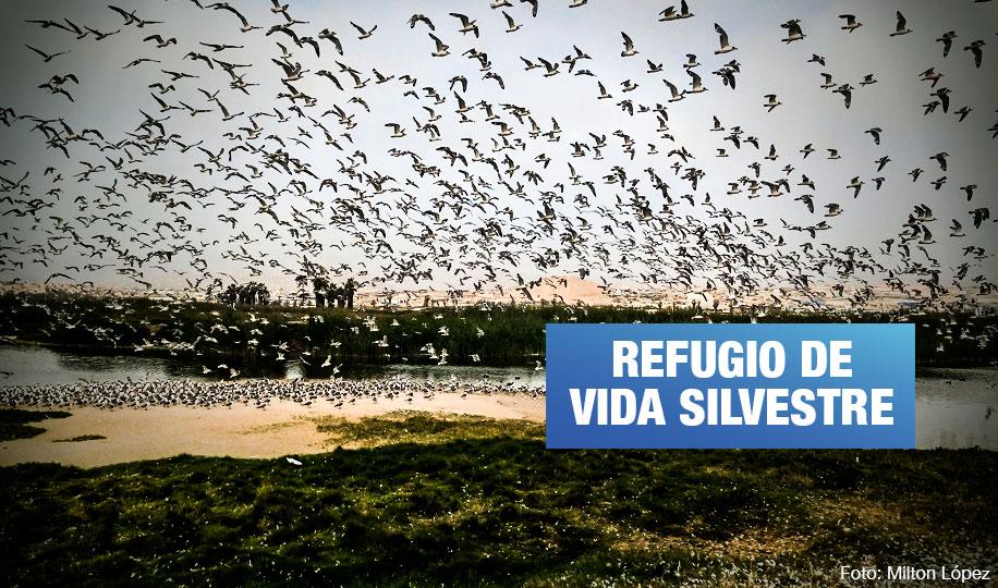 Los Pantanos de Villa: Conoce al área protegida clave para la conservación de aves de América